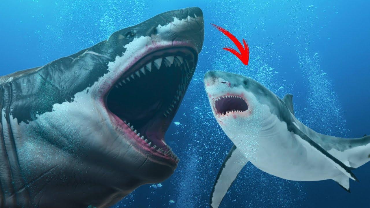 Le grand requin blanc est il un descendant du m galodon youtube - Dessin de grand requin blanc ...
