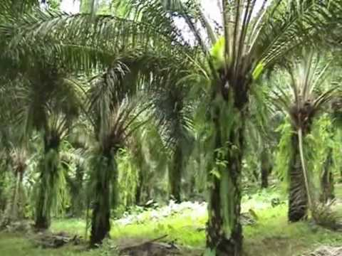 400 acres Oil palm plantation for sale
