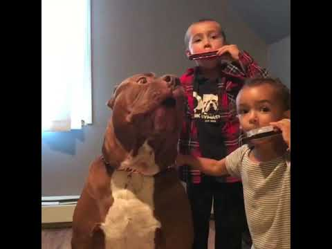 Giant family pit bull HULK SINGING with the kids 💓