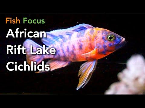 Fish Focus - African Rift Lake Cichlids