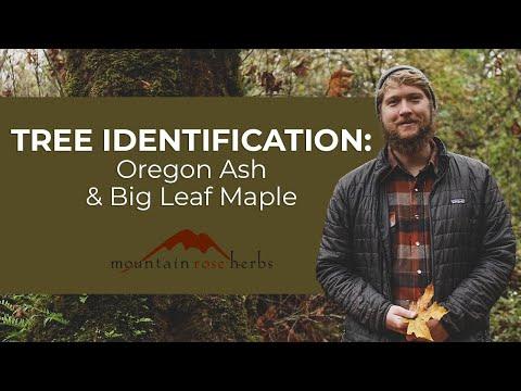 Tree Identification: Oregon Ash and Big Leaf Maple