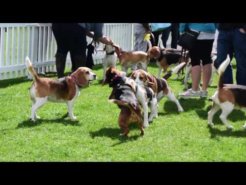 A Big Beagle Day Out