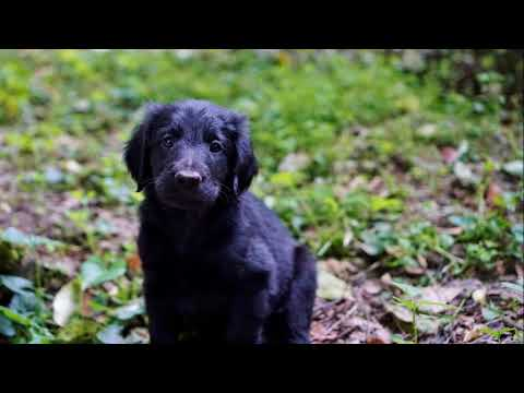 Cahaba Flat Coated Retriever Puppies Six Weeks Old