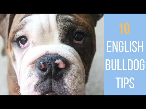 10 Tips for Caring for your English Bulldog | Laura-Lee