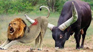 هذا الحيوان يستطيع القضاء على الأسد ملك الغابه بضربة واحده ؟!!