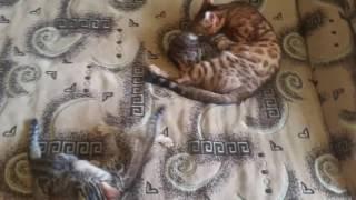 """Бенгальские котята и кошка :) 1,5 месяца."""""""