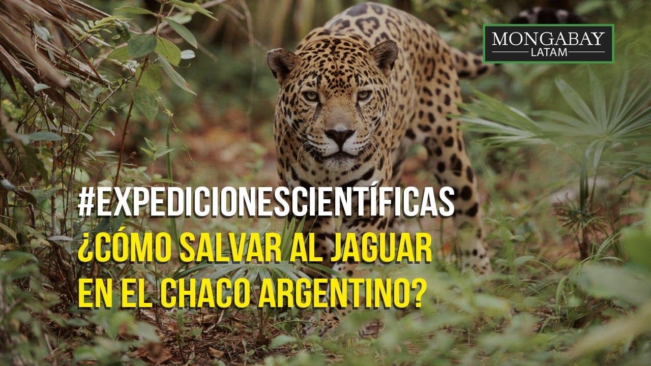 # ExpedicionesCientíficas  | ¿Cómo salvar al jaguar en el Chaco argentino?