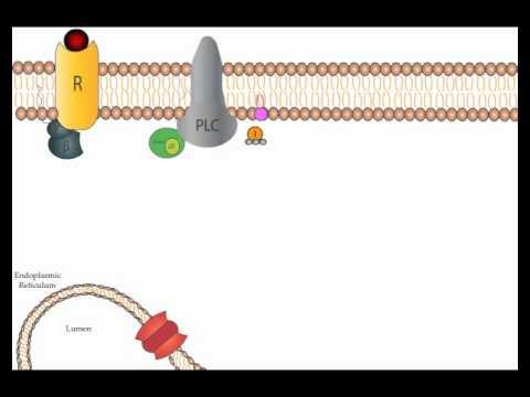 Adenylyl Cyclase and Inositol Phospholipid Pathways