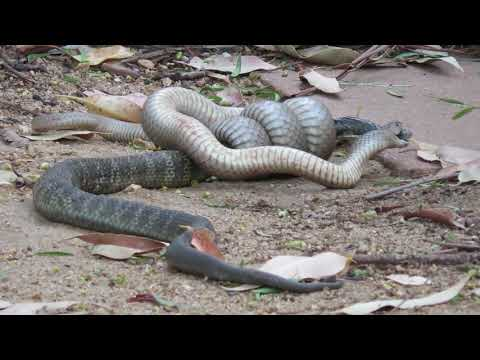 Fight Between Brown Snake and Tiger Snake Captured on Video in Nanneella