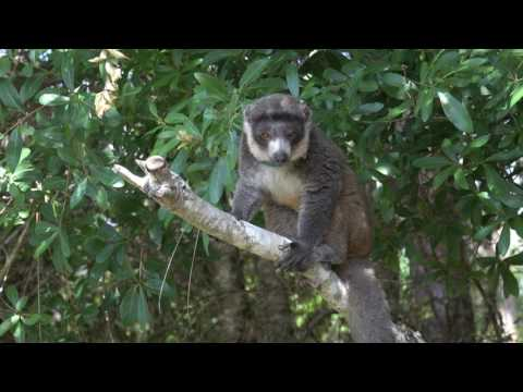 Florida Field Journal - Florida Lemurs