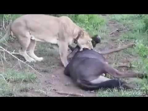 शेर और जंगली भैंसा ( आखरी साँस तक लड़ना चाहिए देखिये ये वीडियो)