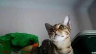 Ocicat Meow