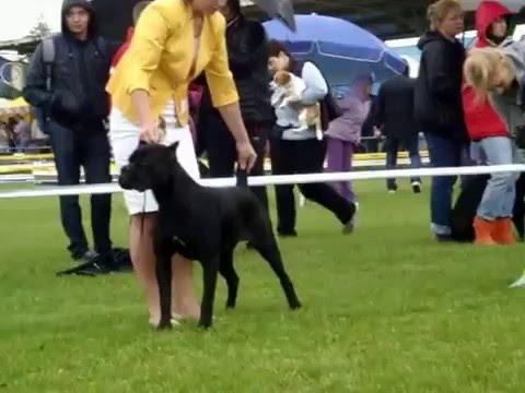 Кане -корсо - собака для триумфаторов (Сane - Corso) - YouTube