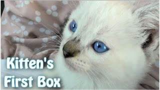 Kitty's First Cardboard Box  - Funny #Cat Video