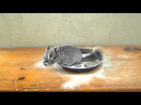 chinchila tomando banho