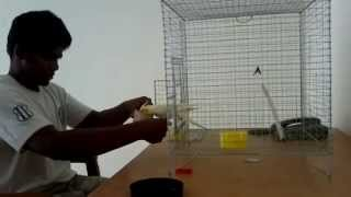 2nd day of taming process of my cockatiel (05-2-2013)