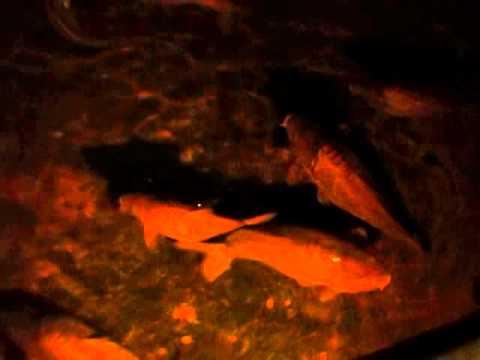 İstanbul Yerebatan Sarnıcı devasa balıklar