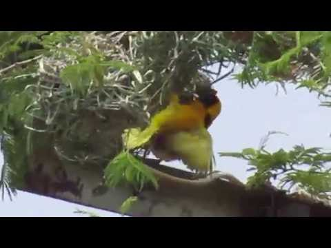 African Birds nests