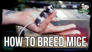 HOW TO BREED MICE
