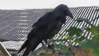 решился завести ворона