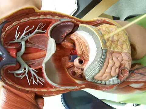 Lab 10: greater omentum - YouTube