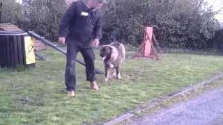 Caucasian Shepherd Dog Training In Ireland Part 2