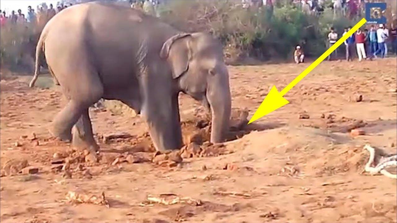 Слониха 11 часов рыла яму в земле. Вы будете потрясены, когда узнаете зачем