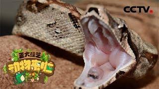 [正大综艺·动物来啦]蟒蛇吞食猎物过程中会屏住呼吸| CCTV