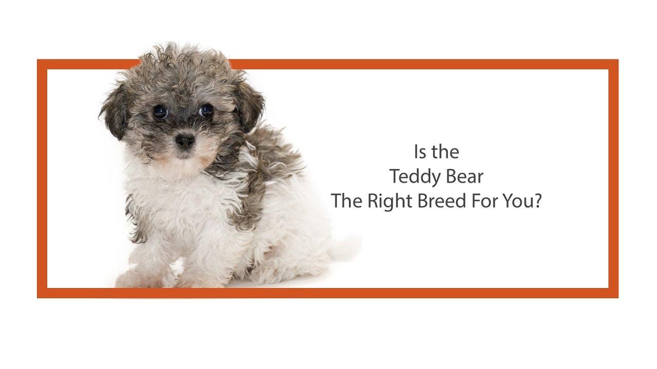 Teddy Bear Puppies in Dallas - Visit Petland in Dallas, Texas