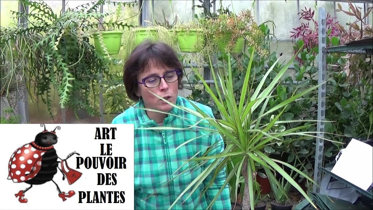 conseils jardinage dracaena marginata comment faire une bouture plante verte youtube. Black Bedroom Furniture Sets. Home Design Ideas