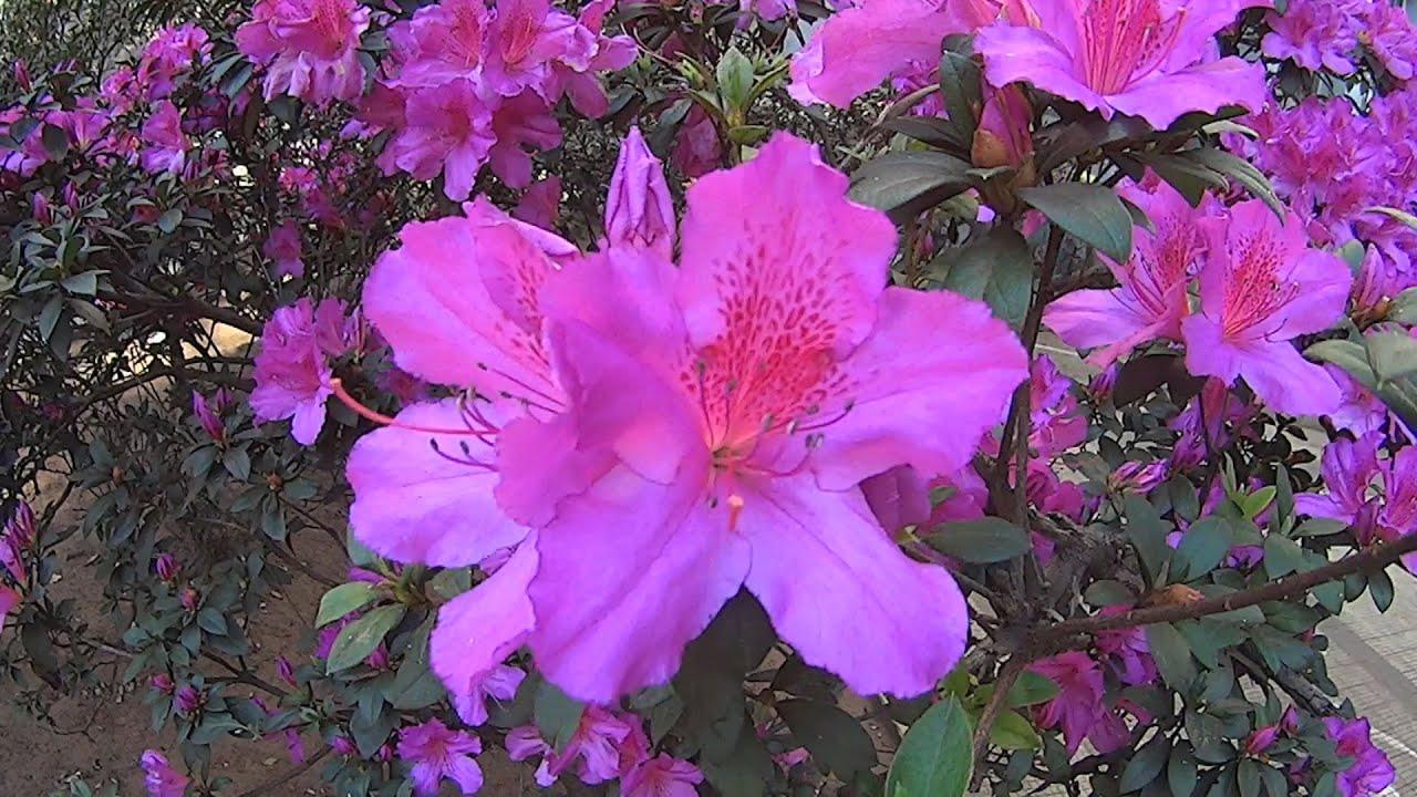 Planta azalea cuidados ampliar imagen rosa fuerte with - Azalea cuidados planta ...
