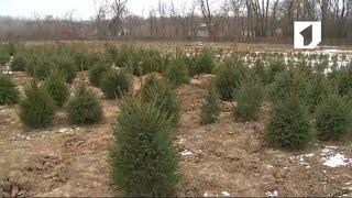 видео Выращивание елок на продажу в домашних условиях