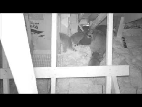 What do raccoons sound like?