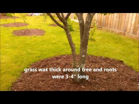 CARING FOR FRUIT TREES - Sour Cherry Tree