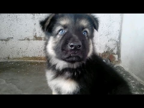 german-shepherd-puppies-41-days-old-gsd-pupps