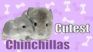 Cutest Chinchilla 🐭 Funny Animal Videos Compilation