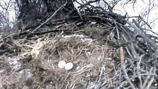 Bald Eagle Nest - Decorah, Iowa 02-21-2012; 1019am (3min 42sec)