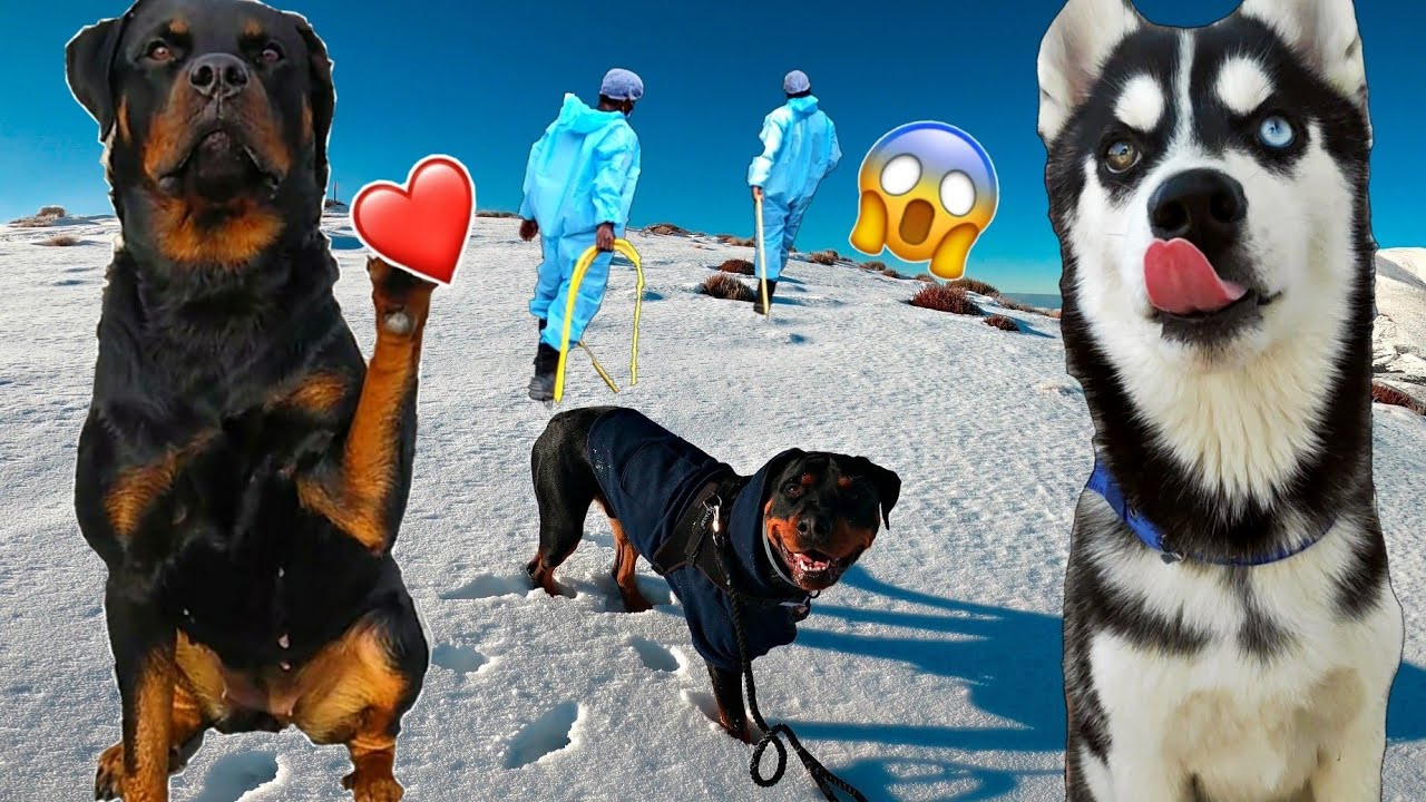End of the World😱 Roxy's Boyfriend Entry 😍. Cheeni Reaction 😑 Dog Can talk part 44, Review reloaded