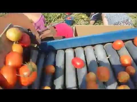 Транспортер томатов фольксваген транспортер т5 с пробегом в калининграде