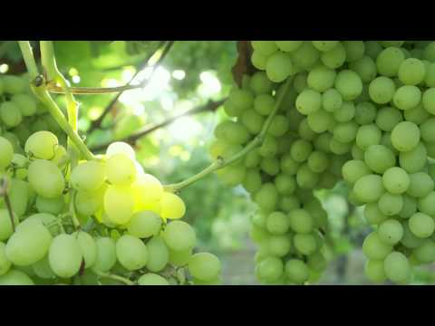 AndNowUKnow: Table Grapes - Behind the Greens
