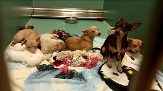 24 Chihuahuas and 2 Kids Covered in Feces Get Rescued from Hoarder's Home