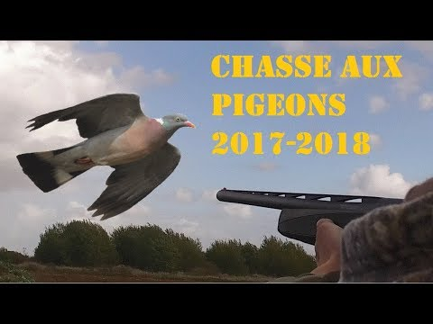 Chasse du pigeon ramier ou palombe