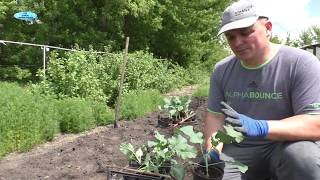 Высадка рассады капусты брокколи!