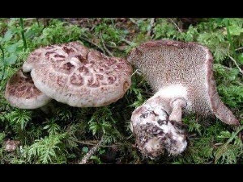 Гриб Ежовик Пестрый! Он же Ястреб, он же Курочка! Уникальный гриб! Природный лекарь.