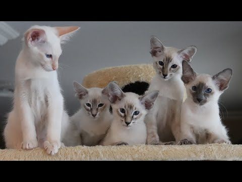 Balinese Siamese hypoallergenic cats  Cat teaser