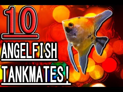 10 Fish You Can Keep With Angelfish!