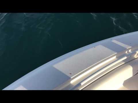 Mako shark 7 miles off Indian rocks, fl