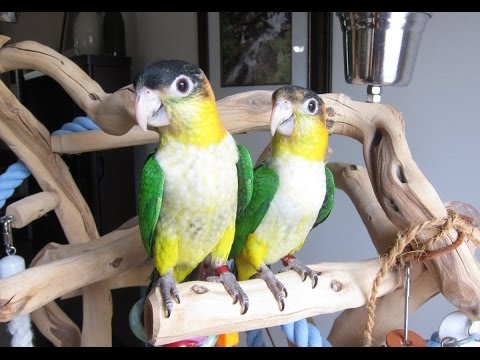 Peaches and Fina — 12 week old White Bellied Caique Babies