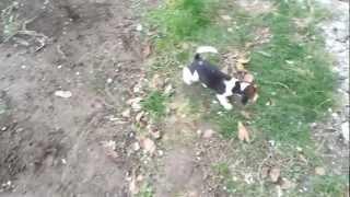Pui Beagle