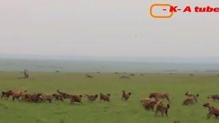1 Male Lion Vs 20 Hyenas